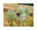 bumblebee @ work